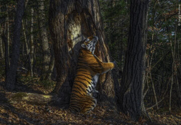 Um tigre a abraçar uma árvore: a foto vencedora do Wildlife Photographer of the Year