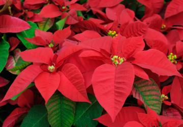 Câmara de Oeiras vai oferecer flores de Natal aos munícipes