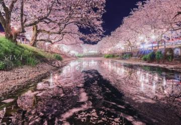 As cerejeiras do Japão já estão cobertas de flores — e as fotos são maravilhosas